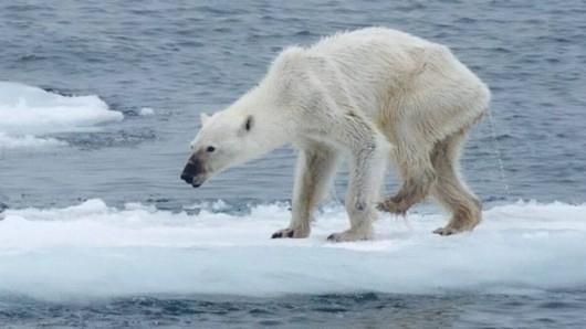 urso-polar FOTO DE KERSTIN LANGENBERGER